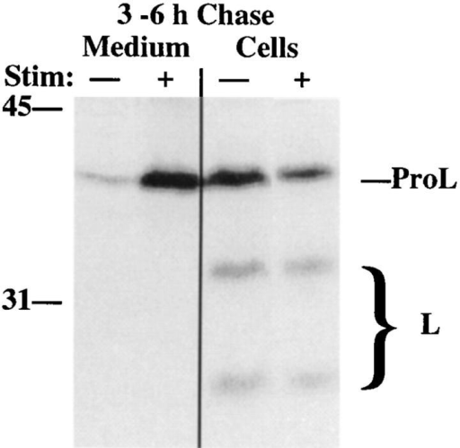 Inefficient arrival  of newly synthesized ProL in  lysosomes of INS cells. Cells  pulse labeled as in Fig. 1 were  chased to 3 h before a further  3-h collection of stimulated  (+) or unstimulated (−) secretion was obtained and the  cells analyzed by immunoprecipitation for lysosomal  arrival of cathepsin L. Stimulus-dependent secretion contained ∼50% of all immunoprecipitable L-containing peptides found in the 3 h of collected  medium plus cell lysate, while insulin secretion as measured by  RIA averaged 53% during this period. The positions of ProL and  bands comprising mature cathepsin L (large bracket) are shown.
