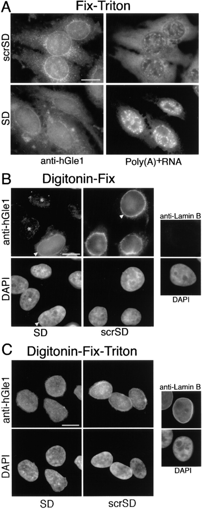 AP–hGle1-SD peptide results in mislocalization of endogenous hGle1 localization when poly(A)+ RNA export is inhibited. HeLa cells were incubated with AP–hGle1-SD (SD) or control peptide (scrSD), processed for IIF using affinity-purified anti-hGle1 antibodies (A–C), and in situ hybridized with oligo (dT)30 (A) or stained with DAPI (B and C). Hybridized probe and bound hGle1 antibodies were simultaneously detected using rhodamine-labeled anti–Dig Fab antibodies and FITC-labeled anti–rabbit antibodies, respectively. Images showing in situ hybridization results reflect equivalent exposure times. (A) Fix-Triton permeabilization detects total hGle1 pool and shows changes in anti-hGle1 localization in AP–hGle1-SD–treated cells. (B) Digitonin-Fix permeabilization detects only the cytoplasmically accessible pool. AP–hGle1-SD results in decreased levels of cytoplasmically accessible hGle1 (asterisk) compared with unaffected cells (arrowheads, at passage >150; see Materials and methods) or cells treated with control peptide. The absence of lamin B staining using anti–lamin B antibodies (far right) confirms NE integrity under these conditions. (C) Detection of nuclear hGle1 was accomplished by combined Digitonin-Fix-Triton permeabilization. Lamin B staining confirms access of antibodies to intranuclear proteins. Bars, 10 μm.