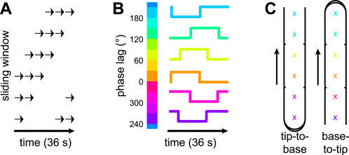 Sliding window paradigm.(A) Pneumatic stimulation was delivered to D1, D2, or D4, via a restricted set of jets within a sliding window of stimulation. (B) Voxels correlated to the reference waveform were assigned one of 12 colors, according to the phase delay giving the maximal correlation. Because the number of jet positions was only four (D1) or six (D2/D4), the color values included interpolated phase lags. (C) The colors corresponded to locations on the digit surface, although the mapping from phase delay to location differed depending on stimulation direction.