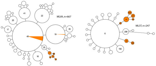 Minimum spanning trees of 667 strains on which MLVA was performed and of 247 Hib strains analyzed by MLST. Each circle represents a different type. The size of the circle indicates the number of strains with this particular type. The orange area in the circles indicates the portion of type II strains. The numbers in the circles denote the MLST sequence type or MLVA type. Only the numbers of the predominant types and the types carrying capsular genotype II are displayed.