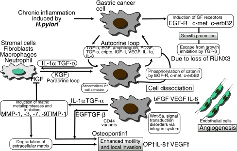 Tumor microenvironment of gastric cancer is composed of interaction between cancer cells and stromal cells via growth factor/cytokine network