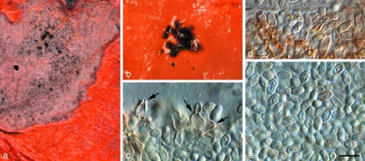 Teratosphaeria alboconidia (CPC 14597). a. Leaf spot; b. colony on OA; c, d. conidiogenous cells giving rise to conidia (arrows denote loci); e. conidia. — Scale bar = 10 μm.