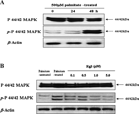 Effect of ginsenoside Rg3 on palmitate-induced activation of p44/42 MAPK in MIN6N8 cells. (A) Time course of p44/42 activation with palmitate exposure to MIN6N8 cells. The cells were administrated with 500 µM palmitate for the indicated time points and harvested for whole-cell lysates to be used in Western blots. Total p44/42 was probed as well. All data are representative of three independent experiments. (B) Effect of Rg3 on palmitate-induced phosphorylation of p44/42 in the cells. The cells were treated with palmitate in the presence or absence of Rg3 for 48 h, and Western blot analysis was performed. All data are representative of three independent experiments.