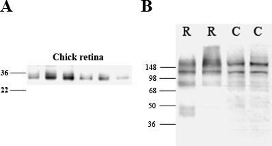 Western blot analyses of retinal tissue demonstrating antibody specificity to aquaporin water channels (AQP4; A) and Kir4.1 (B) in rat (R) and chick (C) retina. A: For AQP4, the appearance of bands between 30 and 32 kDa represents the estimated size of AQP4 in the chick eye [15]. B: For Kir4.1, bands were present in both normal rat and chick at approximately 85 kDa, representing the dimeric form of Kir4.1. Additional bands were also seen at approximately 200 kDa, which were presumed to represent the tetrameric form of Kir4.1 [24,33]. The lanes correspond to retinal tissue from normal chicks.