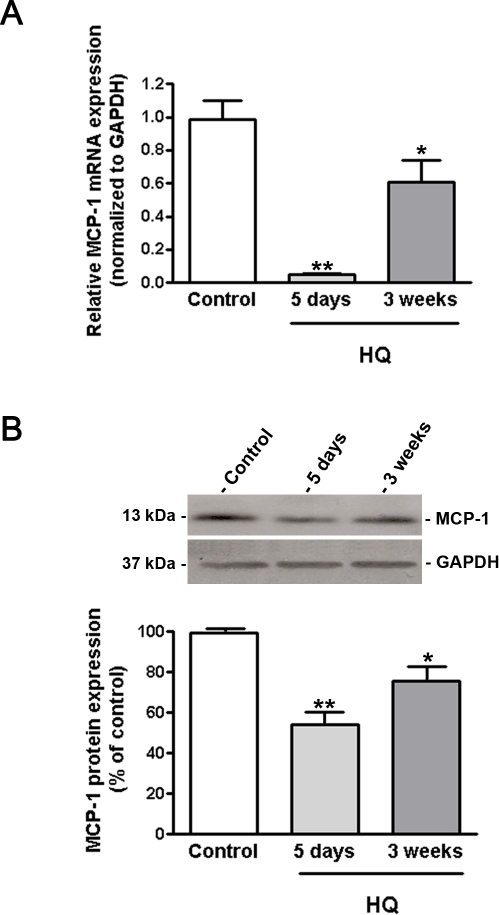 MCP-1 expression is decreased in RPE/choroids from mice exposed to HQ.(A) MCP-1 mRNA expression was downregulated in response to HQ-induced oxidative injury. Total RNA was extracted from microdissected RPE/choroid complexes after 5 days and 3 weeks of exposure to HQ in drinking water (0.8%). MCP-1 mRNA expression was measured by real-time PCR. GAPDH was used as internal control (n = 5 eyes per group). (B) MCP-1 protein expression was downregulated in response to HQ-induced oxidative injury. Total protein was extracted from microdissected RPE/choroid complexes after 5 days and 3 weeks of exposure to HQ in drinking water (0.8%). Equivalent amounts of protein from 5 eyes per group were pooled for each lane. MCP-1 protein expression was evaluated by Western blot and normalized to GAPDH. Top: representative Western blot gel. The numbers to the left are molecular weights in kilodaltons (KDa). Bottom: average densitometry results. Data are expressed as percentage of control and are means ± SE. * is p<0.05 and **p<0.01 versus control.