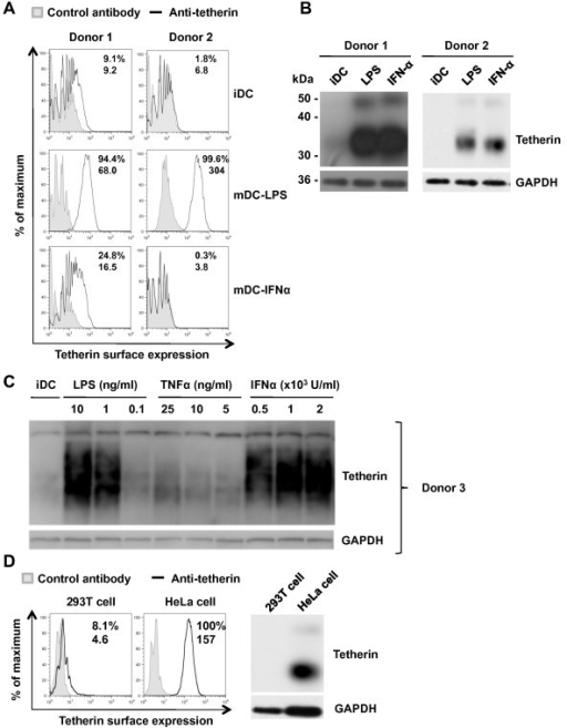 Pro-inflammatory stimuli upregulate tetherin expression in DCs. Tetherin expression on iDCs, mDC-LPS and mDC-IFNα from two different donors was assessed by (A) flow cytometry and (B) immunoblotting. (C) TNF-α treatment of DCs modestly upregulates tetherin expression compared with mDC-LPS and mDC-IFNα. Tetherin expression was detected by immunoblotting. (D) HEK293T and HeLa cells were used as negative and positive controls, respectively. Numbers shown in flow cytometry plots are % positive (top) and the geometric mean values of fluorescence intensity (bottom) for each histogram.