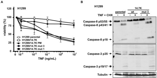 Optineurin binding to 14.7K is not sufficient for protection against TNF.(A) H1299 cells expressing indicated 14.7K variants were seeded in triplicates in 96-well plates and treated with 12.5 µg/mL CHX and increasing amounts of TNF (0.001–10 ng/mL) the next day. Dead cells were removed by washing with PBS followed by staining of viable cells with crystal violet. (B) H1299 cells expressing either 14.7K, 14.7K mut 3 or untransfected cells were treated (right panel) or not (left panel) with CHX (12.5 µg/mL) followed by stimulation with 20 ng/mL TNF for 5 h. Lysates were analyzed by Western blotting with caspase-8 and caspase-3 antibodies. Tubulin was used as loading control.