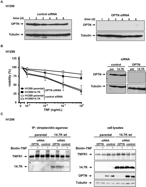 14.7K-mediated protection against TNF cytotoxicity and recruitment to TNFR1 is independent from endogenous optineurin.(A) Knockdown efficacy of optineurin-specific siRNA was confirmed by Western blotting and lasted at least for 6 days (B) H1299 parental or 14.7K expressing cells transfected with 100 pmol optineurin specific or control siRNA were seeded in 96-well plates and after 48 h challenged with increasing amounts of TNF (0.001–1 ng/mL) in the presence of CHX (12.5 µg/mL). Cell viability was assayed by staining with crystal violet. Knockdown of endogenous protein was confirmed by Western blotting. (C) Cells were seeded in a 10 cm culture plate, transfected with 600 pmol optineurin-specific siRNA or control siRNA and treated with 50 ng/mL biotin-labeled TNF 24 hours after transfection. Proteins associated with biotinylated TNF were analyzed for the presence of TNFR1 and 14.7K. Cell lysates confirmed efficient knockdown of optineurin in the corresponding samples.