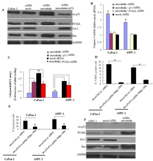 Mesothelin sliencing suppresses cell survival,proliferation and promotes apoptosis by p53-dependent and -independent pathway in pancreatic cancer cells.A, Western blot assay for p53, PUMA,bax and bcl-2 in Capan-2 cells with wt-p53. Mesothelin sliencing significantly increased the P53,PUMA and bax levels and decreased bcl-2 level. Knockdown of p53 by shRNA(3 days transfection) decreased the PUMA and bax level and increased the bcl-2 level in stable mesothelin silenced CaPan-2 cells. B, Determination of caspase-3 activity. Caspase-3 activity was determined by fluorogenic substrates. Caspase-3 activity was measured fluorometrically at 510 nm on a microplate fluorescence reader. Mesothelin sliencing significantly increased the caspase-3 activity. The activity in mock shRNA transfected cells was defined 1.* denote p < 0.05, compared with mock shRNA controls, t test. C, Cytotoxicity assay was by MTT. .* denote p < 0.05,**p<0.01, compared with mesothelin shRNA groups, t test. D, Cell apoptosis was determined by FCM assay in samples treated with mesothelin shRNA or mesothelin shRNA plus PUMA shRNA. E, Cell apoptosis was determined by TUNEL assay in samples treated with mesothelin shRNA or mesothelin shRNA plus PUMA shRNA.* denote p < 0.05, compared with combined shRNA treatment groups, t test. F, Western blot assay for p53, PUMA,bax and bcl-2 in ASPC-1 cells with mt-p53. Mesothelin sliencing significantly increased the PUMA and bax levels and decreased the bcl-2 level.