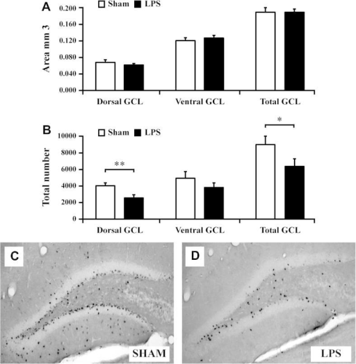 LPS reduces the survival of newborn cells specifically in the dorsal hippocampus. (A) The area of the dorsal and ventral granule cell layer (GCL) was similar in LPS-exposed pups compared to saline control at P60. (B–D) Survival of BrdU-positive cells, labeled at P11, 48 h after LPS, was significantly reduced in the dorsal hippocampus at P60 compared to sham animals. (B) There was no effect by neonatal LPS on survival of BrdU labeled cells in the ventral hippocampus at P60. Group means ± SEM. ∗P < 0.05, ∗∗P < 0.01.