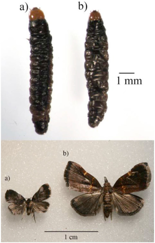 A. Tosale larvae and adults. B. Lepidomys larvae and adults. High quality figures are available online.