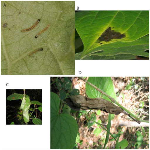 Leaf structures inhabited by Lepidomys according to their ontogenetic stage: A. Black head individuals. B. Leaf tie. C. Trenched leaf shelter. D. Nest. High quality figures are available online.