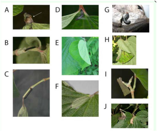 Steps of the shelter-building process: A. Petiole trench. B. Silking of the trenched site. C. Silking of the next node. D. Leaf silking. E. Folded leaf. F. Fresh shelter capsule. G. Open dry shelter capsule with a last instar larva. H. Fresh shelter. I. Dry shelter. J. Attachment of a new leaf to the dried shelter, where (1) shows the original shelter, (2) the new feeding site, and (3) the trenched petiole of the new leaf. High quality figures are available online.