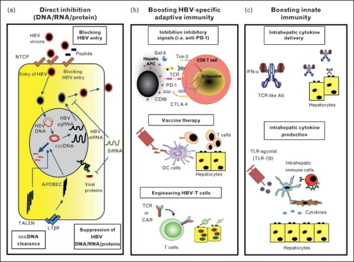 Schematic representation of new hepatitis B virus therapeutic strategies. (a) Direct inhibition (DNA/RNA/Protein). (b) Boosting HBV-specific adaptive immunity. (c) Boosting innate immunity. Ab, antibody; APC, antigen-presenting cell; CAR, chimeric antigen receptors; cccDNA, covalently closed circular DNA; DC, dendritic cell; HBV, hepatitis B virus; IFN, interferon; LTβ, lymphotoxin-β; NTCP, sodium-taurocholate cotransporting polypeptide; TALEN, transcription activator-like effector nucleases; TLR, toll-like receptor.