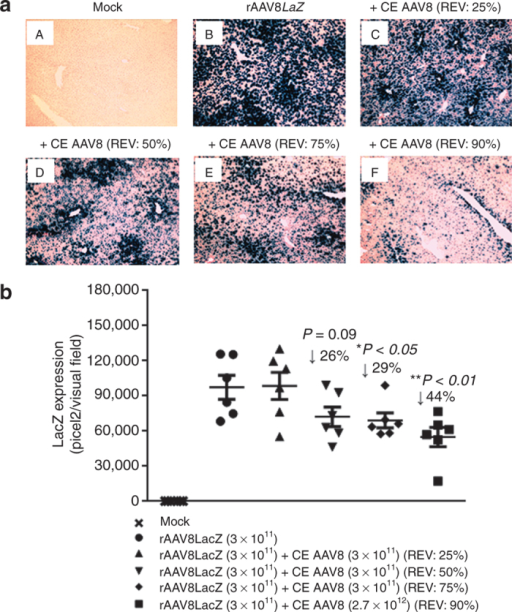 Repression of nLacZ liver transduction by increased ratios of empty adeno-associated virus (AAV) particles in C57BL/6 mice. (a) Mice were intravenously injected with rAAV8nLacZ vectors (3 × 1011 GCs/mouse) alone or mixed with AAV8 completely empty (CE) at variable ratios of empty virions (REVs: 25–90%) via tail vein. The liver sections were stained with X-Gal histochemically. Transgene expression was detected by light microscopy at 35-day postinjection. Original magnification: ×100. (b) Quantitative analyses of rAAV8 transduction efficiency. Images from six visual fields were analyzed quantitatively using ImageJ analysis software. Transgene expression was assessed as total area of blue staining (pixel)2 per visual field (mean ± SEM). Student's t-test was used to compare test results with the group received rAAV8 alone, and the differences were determined to be statistically significant. *P < 0.05, **P < 0.01. GC, genome copy; nLacZ, nuclear-targeted LacZ; rAAV, recombinant AAV.