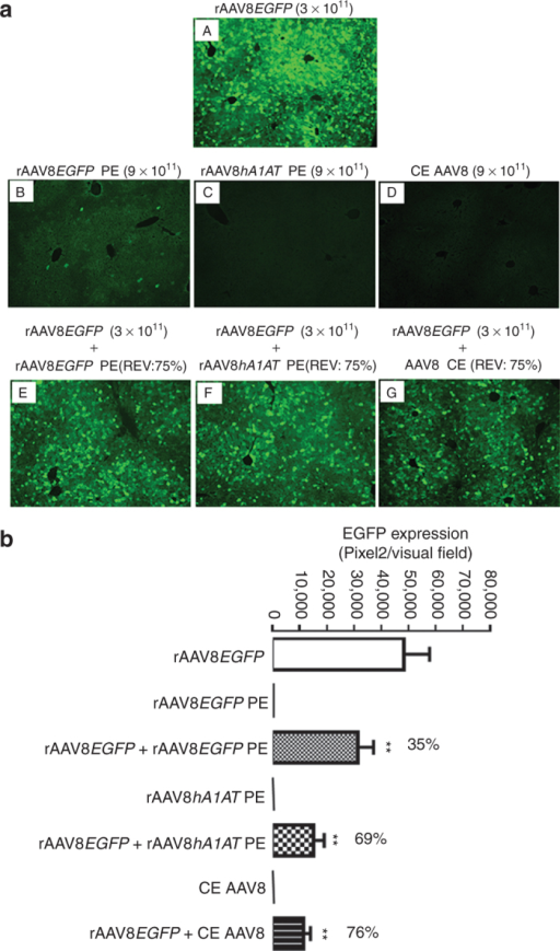Repression of rAAV8EGFP liver transduction by completely empty (CE) and partially empty (PE) AAV8 particles in BALB/c mice. (a) Adult male BALB/c mice were intravenously injected with rAAV8EGFP vectors (3 × 1011 GCs/mouse) alone or mixed with empty AAV8 particles (9 × 1011 GCs/mouse) from three different sources at a fixed ratio of empty virion (REV: 75%) via tail vein. The liver sections were fixed, and transgene expression was detected by fluorescence microscopy at 4-week postinjection. Original magnification: ×100. (b) Quantitative analyses of rAAV8EGFP transduction efficiency. Images from six visual fields were analyzed quantitatively using ImageJ analysis software. Transgene expression was assessed as total area of green fluorescence (pixel)2 per visual field (mean ± SEM). Analysis of variance was used to compare test results with those from the group with rAAV8EGFP alone, and the differences were determined to be statistically significant. *P < 0.05, **P < 0.01. GC, genome copy; rAAV, recombinant adeno-associated virus.