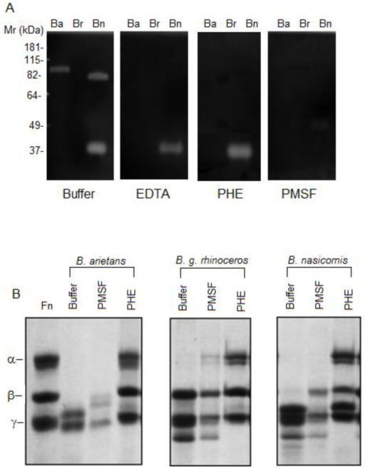 Proteolytic activity of Bitis ssp venoms.[A] Gelatinolytic activity analyzed by zymography: Bitis spp venoms (30 μg) were incubated in the absence (buffer) or presence of 5 mM EDTA (EDTA), 5 mM 1,10-phenanthroline (PHE) or 5 mM PMSF (PMSF), submitted to electrophoresis and subsequently incubated overnight at 37°C, in 50 mM Tris-HCl, pH 8.3. Following incubation, the gel was stained with 0.1% Coomassie Brilliant Blue and the gelatinolytic activity was detected as unstained bands on a dark background. [B] Fibrinogenolytic activity was assessed using a SDS-PAGE (10%) gel. Thirty micrograms of human purified fibrinogen (Fn) were incubated with 1 μg of Bitis spp venoms pre-incubated or not with inhibitors of serine–(PMSF) or metallo–(PHE) proteinases and ran under reducing condition. The digestion of gelatin and the cleavage of fibrinogen were visualized by Coomassie Brilliant Blue staining.