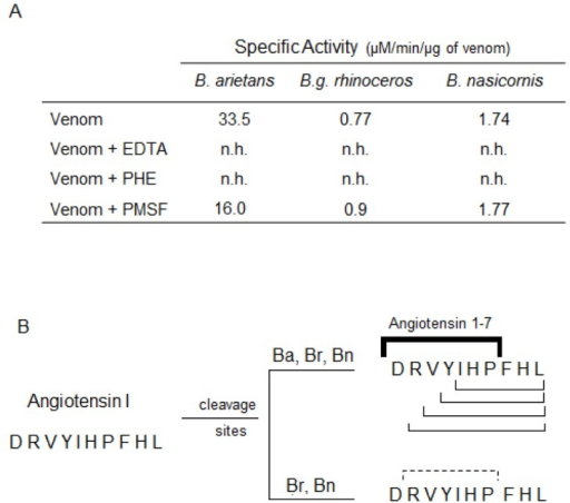 Cleavage of Angiotensin I by Bitis ssp venoms and identification of the cleavage sites on the primary sequence.[A] Angiotensin I (65 μM) was incubated at 37°C with 1 μg of Bitis arietans venom (1 h/37°C) or 5 μg of B. nasicornis or B. g. rhinoceros venoms (2 h/37°C) in phosphate buffer (50 mM sodium phosphate, 20 mM NaCl, pH 7.4). In parallel, the venoms were pre-incubated, 30 min prior the addition of angiotensin I, with PHE (5 mM), PMSF (5 mM) or EDTA (100 mM). [B] The hydrolysis products, collected during the reverse-phase chromatography, were submitted to mass spectrometry analysis. All venoms cleaved angiotensin I in different cleavage sites. The lines indicate the cleavage sites on angiotensin I primary sequence after treatment with the different Bitis venoms. The bold solid line indicates the cleavage point for angiotensin 1–7 generation and the solid lines indicate the other cleavage points observed after the treatment with the venoms. The dashed line indicates the sites on angiotensin I primary sequence cleaved only by B. g. rhinoceros and B. nasicornis venoms.