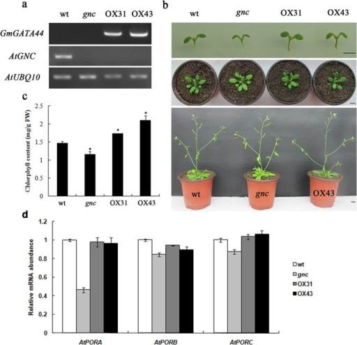GmGATA44 modulates chlorophyll content.(a) Expression levels of GmGATA44 and AtGNC in the wild-type Arabidopsis (wt), the gnc mutant and two GmGATA44 overexpressing transgenic lines (OX31 and OX43) using semi-quantitative RT-PCR from 3 week old rosette leaf tissue.(b) Images of the wild-type plant, the gnc mutant and GmGATA44 overexpressing transgenic plants at one week (upper panel), 3 weeks (middle panel) and 5 weeks (bottom panel) post germination. Bars = 1 cm.(c) Chlorophyll content of the wild-type plants, the gnc mutant and two GmGATA44 overexpressing transgenic lines at 3 weeks post germination. Data are presented as mean ± SD (N = 10) from triplicate independent measurements. Data analysis was performed using SAS software, and significant differences were calculated using the Student's t-test at 95% confidence limit. Asterisk indicates significant differences from the wild-type plant.(d) Relative expression levels of AtPORA, AtPORB and AtPORC in the wild-type plant, the gnc mutant and two GmGATA44 overexpressing transgenic lines by real-time PCR from 3 week old rosette leaf tissue. Data were obtained by real-time PCR normalized against the reference gene GAPDH and shown as a percentage of expression in the wild-type plant.