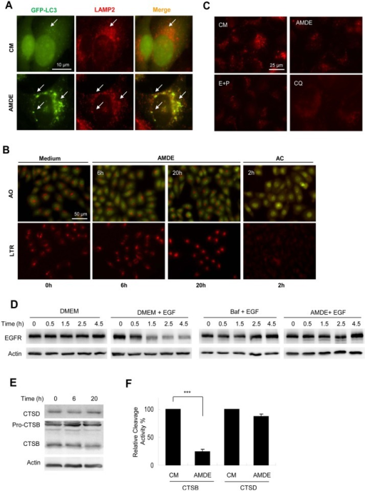 AMDE-1 can block lysosome degradation.(A) GFP-LC3-expressing MEFs were treated with AMDE-1 (10 μM) for 6 h, followed by immunostaining with anti-LAMP2. Arrows indicated colocalized GFP-LC3 (green) and LAMP2 (red) puncta. (B) HeLa cells were treated with AMDE-1 (10 μM) for 6 or 20 h or with ammonium chloride (AC, 20 mM) for 2 hr. as indicated, followed by staining with acridine orange (AO, 1 μg/ml) or Lyso Tracker Red (LTR, 50 ng/ml) for 30 min. (C) HeLa cells were pre-incubated with self-quenched bodipy-conjugated BSA (DQ-BSA, 10 μg/ml) for 1 h and then treated with AMDE-1 (10 μM), E64D (25 μM) plus pepstatin A (50 μM) (E+P) or CQ (40 μM) for 6 h. (D) HeLa cells were starved in DMEM for 1.5 h and incubated with or without EGF (200 ng/ml) together with Baf (0.5 μM) or AMDE-1 (10 μM) for 0–4.5 h. EGFR level was detected by immunoblot. (E) Hela cells were treated with AMDE-1 (10 μM) for 0–20 h. The lysosome-enriched fraction was analyzed for the expression of cathepsin D (CTSD) and cathepsin B (CTSB). (F) Cells were treated with or without AMDE-1 for 20 hrs, and the activity of cathepsin B and cathepsin D at 20 h was analyzed using the lysosome-enriched fraction. Cathepsin activities were standardized to that of the untreated sample, which was set to 100%. Values represent means ± SD from three independent experiments. ***: p<0.001.