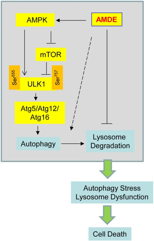 A proposed mode for the action of AMDE-1.AMDE-1 can trigger autophagy by the AMPK-mTOR-ULK1 pathway. However, AMDE-1 can also suppress lysosomal function and thus autophagic flux. Consequently, the lysosome dysfunction and/or the accumulation of non-degraded cellular material can promote cell death. The dashed arrow suggests that AMDE-1 may also affect autophagy by other unknown mechanisms.