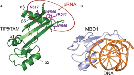 Comparison of TAM and MBD nucleic acid binding domains. (A) The pRNA binding surface of the TIP5/TAM domain. Side chains of residues important for RNA binding are shown on a cartoon representation of the TIP5/TAM domain structure. (B) Cartoon representation of the canonical MBD domain from MBD1 (light blue) in complex with methylated DNA shown as orange cartoon (PDB ID: 1IG4) (52).