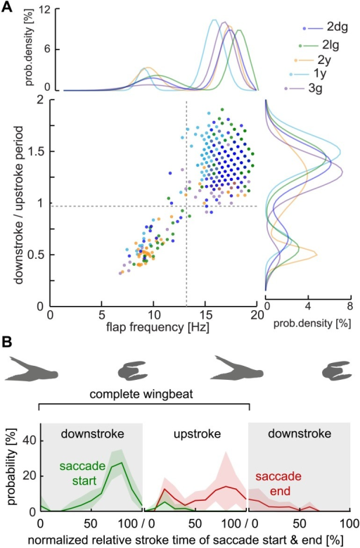 Lovebirds performed an intermittent flight style with two wingbeat distributions in which saccades are started during downstrokes.(A) The downstroke / upstroke phase ratio vs. instantaneous flap frequency distribution for individual wingbeats of five birds. A phase ratio of 1 indicates up- and downstrokes of equal duration, values <1 indicate longer upstrokes, values >1 longer downstrokes. Normalized bimodal Gaussian fits are shown for flap frequency (top) and for downstroke / upstroke time ratios (right). The bird-specific bimodal distribution parameters for the flapping frequency are: 2dg: μ1 = 9.78, σ1= 1.61, μ2 = 17.26, σ2= 1.01; 2lg: μ1 = 10.26, σ1= 1.83, μ2 = 18.14, σ2= 0.91; 2y: μ1 = 9.39, σ1= 1.1, μ2 = 17.19, σ2= 0.86; 1y: μ1 = 8.97, σ1= 0.6, μ2 = 15.76, σ2= 0.96; 3g: μ1 = 9.49, σ1= 2.3, μ2 = 16.72, σ2= 1; For downstroke / upstroke periods the obtained bimodal distribution parameters are: 2dg: μ1 = 0.5, σ1 = 0.07, μ2 = 1.26, σ2 = 0.27; 2lg: μ1 = 0.56, σ1 = 0.13, μ2 = 1.43, σ2 = 0.17; 2y: μ1 = 0.48, σ1 = 0.07, μ2 = 1.26, σ2 = 0.27; 1y: μ1 = 0.62, σ1 = 0.09, μ2 = 1.49, σ2 = 0.17; 3g: μ1 = 0.48, σ1 = 0.12, μ2 = 1.3, σ2 = 0.17. The horizontal gray line separates the bimodal distributions at a downstroke / upstroke ratio of 0.94 (average midpoint between bimodal distribution peaks among birds). The vertical gray line separates the bimodal distribution at a flap frequency of 13.3 Hz (average among birds); n = 697 wing beats, N = 5 birds. Due to the 2000 fps sample frequency, and the fact that wingbeat, downstroke, and upstroke time are all integer values measured in number of frames, the data appear in a raster and can overlap precisely among wings beats, flights and birds. (B) The normalized saccade distributions illustrate when a saccade was started and ended during the downstroke vs. the upstroke phase. Shown is the average across birds (solid lines) and the standard deviation (shaded area). Binning: 0:10:100; n = 72 saccades, N = 5 birds.