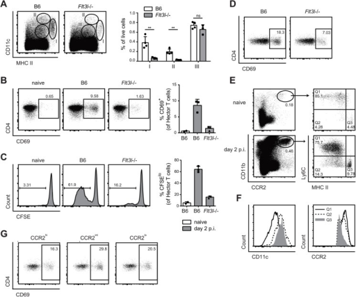 Flt3L-dependent migratory DCs and monocyte-derived DCs both present C. albicans derived antigen.(A) Cervical lymph node cells of B6 or Flt3l-/- mice were analyzed on day 2 post-infection. Representative FACS plots from individual mice and quantification of MHC IIhigh CD11c+ (population I), MHC II+ CD11chigh (population II) and MHC II+ CD11c+ cells (population III) from one of two independent experiments are shown. (B, C) Cervical lymph node cells were isolated from naïve B6 mice and from infected B6 and Flt3l-/- mice on day 2 post-infection, enriched for CD11b+ cells and co-cultured with CD4+ Hector T cells. Thy1.1+ CD3+ CD4+ TCRVα2+ cells were analyzed for CD69 expression after 1 day (B) and for proliferation after 4 days, respectively (C). Representative plots are shown on the left, summary of data from individual mice with mean + SD are shown on the right. Each symbol represents one mouse. Data are representative of 2 independent experiments. (D) As in B, but MHC IIhigh CD11c+ migratory DCs were isolated by FACS-sorting from the cervical lymph nodes of infected B6 and Flt3l-/- mice. (E—F) CCR2+ CD11b+ cells in the cervical lymph nodes of naïve and infected B6 mice on day 2 post-infection were analyzed for the expression of MHC II and CD11c (D). Three distinct subsets of CCR2+ CD11b+ cells (MHC IIlo/int Ly6C+ (Q1), MHC IIint Ly6C- (Q2) and MHC IIhigh Ly6C- (Q3)) from infected mice were further analyzed for the expression of CCR2 and CD11c (E). Representative FACS plots are shown. (G) Cervical lymph nodes were isolated from infected B6 mice on day 2 post-infection. CCR2hi, CCR2int and CCR2lo subsets within the MHC IIhigh CD11c+ population I were FACS-sorted and co-cultured with CD4+ Hector T cells for 1 day. Thy1.1+ CD3+ CD4+ TCRVα2+ cells were then analyzed for CD69 expression. Representative FACS plots are shown, Data are representative of 2 independent experiments.