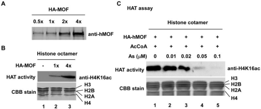 As2O3 inhibits hMOF HAT activity in vitro.(A) Recombinant hMOF. hMOF protein was measured with anti-hMOF antibody. (B) Insect cell expressed/purified HA-hMOF possessing HAT activity. Histones were visualized with Coomassie brilliant R250 blue (CBB) stain (middle panel) and H4K16ac was confirmed with acetylation-specific antibody (top panel). (C) Inhibitory effect of As2O3 on hMOF enzymatic activity.