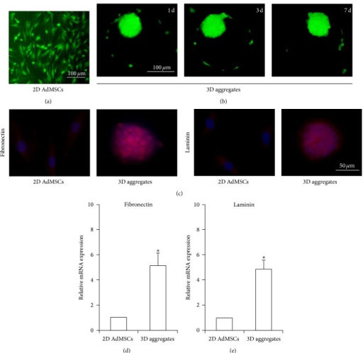 Characters of 3D AdMSCs aggregates. (a) Viability of AdMSCs cultured in 2D monolayer. (b) Viability of 3D AdMSCs aggregates 1 d, 3 d, and 7 d after seeding in microwell. Live or dead cells were stained with FDA (live, green) PI (dead, red). (c) Fluorescent images of 2D AdMSCs or 3D aggregates stained with fibronectin and laminin. (d) mRNA expression of fibronectin and laminin in 2D AdMSCs or 3D aggregates. ∗P < 0.05 compared with 2D AdMSCs.