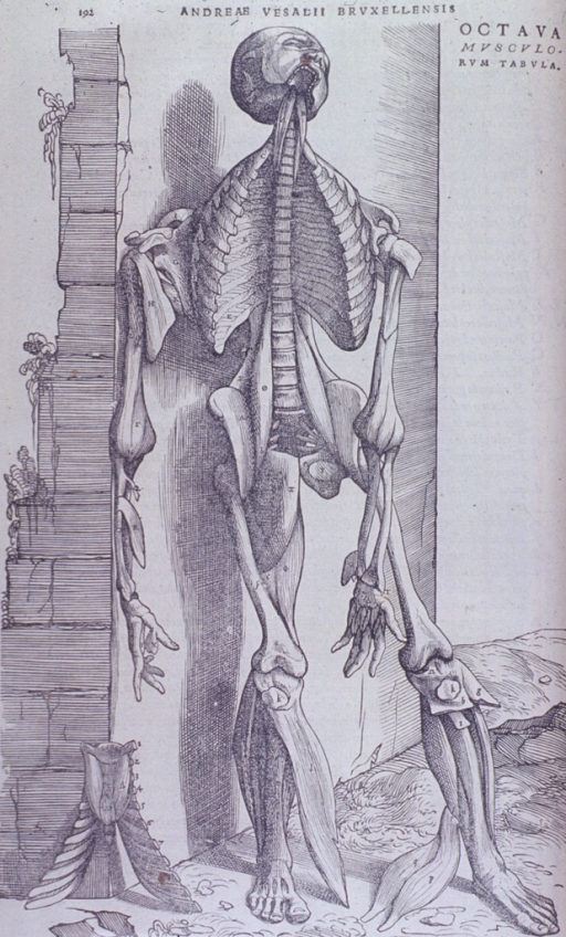 <p>Full length, front view, body leaning against stone wall. Muscles of face, neck, arms and legs exposed. Chest cavity open revealing rib cage and vertebrae.</p>