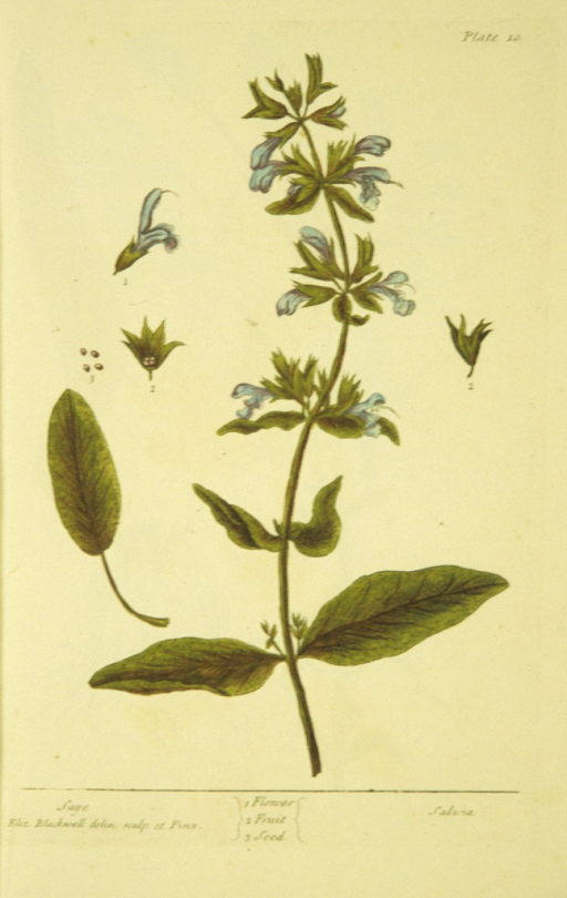 <p>Illustration of the flower, fruit, and seeds of a sage plant.</p>