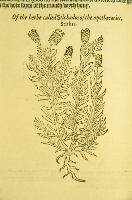 <p>Woodcut illustration of the stichas plant.</p>