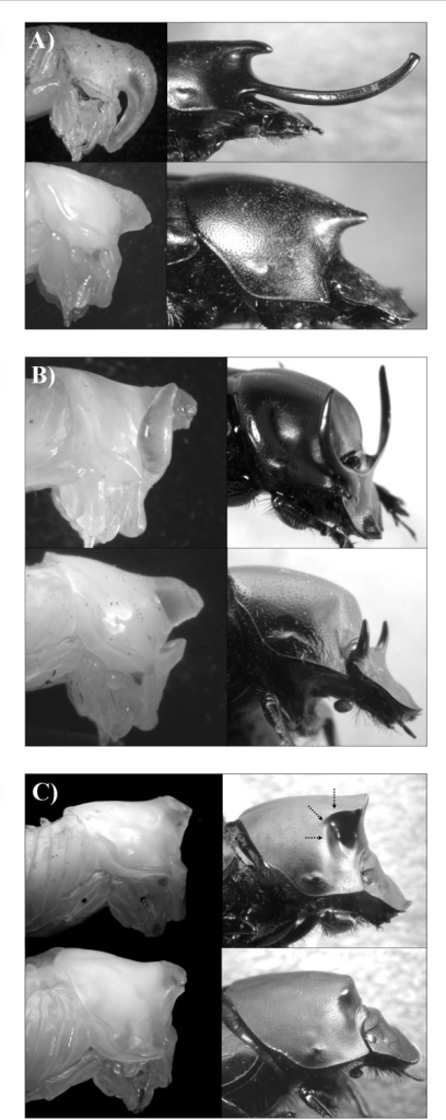 Species used in the present study. (A) Onthophagus nigriventris, (B) O. taurus, and (C) O. binodis. Shown for each species are large horned (major) males (top) and small, hornless (minor) males (bottom) as pupae (left) and corresponding adults (right). Arrows highlight lateral concavity in adult, but not pupal, O. binodis referred to in text.