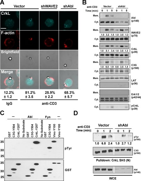 Affect of Abl suppression on CrkL–C3G membrane localization and activation. (A) Jurkat T cells transfected with control, WAVE2, or Abl EGFP suppression vectors were stimulated with IgG (column 1) or OKT3-coated beads (columns 2–4) and imaged for CrkL (aqua) and F-actin (red) recruitment. The percentage of EGFP+ T cell–bead conjugates showing localization of CrkL is indicated and was performed as described in Materials and methods. Representative images are shown. Bar, 5 μm. (B) Jurkat T cells were transfected with the indicated suppression vectors, stimulated by anti-CD3 cross-linking and cytosolic/membrane fractions, were prepared and immunoblotted with the indicated antibodies. Numbers below blots are arbitrary units based on densitometric analysis of the immunoblots. (C) Purified Abl and Fyn were incubated with the indicated GST fusion proteins in kinase buffer, and tyrosine phosphorylation was detected by anti-Tyr immunoblotting. Input levels of GST were detected by anti-GST immunoblotting. Numbers on the left are arbitrary units based on densitometric analysis of the immunoblots. (D) Jurkat T cells were transfected with the indicated suppression vectors, stimulated by anti-CD3 cross-linking, and C3G was precipitated as described in Fig. 5 E. Proteins were detected by immunoblotting with the indicated antibodies. Numbers below blots are arbitrary units based on densitometric analysis of the immunoblots.