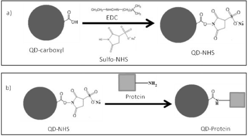 Non-selective bioconjugation reaction scheme of carboxylated QDs (QD-COOH) to amine-containing proteins. This two-step reaction involves a) the activation of QD-COOH with EDC/sulfo-NHS, resulting in a semi-stable active ester (QD-NHS), and b) the nucleophilic reaction between the QD-NHS and amine-containing protein, forming a QD-protein conjugate via a stable amide bond.