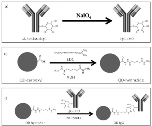 Selective bioconjugation reaction scheme of hydrazide QDs (QD-hydrazide) to aldehyde-containing IgG antibodies (IgG-CHO). The reaction involves a) mild periodate oxidation of glycosylated IgG, yielding IgG-CHO; b) synthesis of QD-hydrazide via derivatization of QD-COOH with EDC/ADH; and c) conjugation of QD-hydrazide with IgG-CHO via formation of hydrazone linkage to yield QD-IgG.
