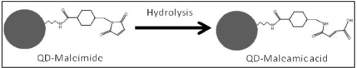Reaction scheme illustrating hydrolysis of sulfo-SMCC activated of QD-NH2 (QD-maleimide). Hydrolyzed QD-maleimide will contain maleamic acid moiety (QD-maleamic) unreactive towards free sulfhydryls.