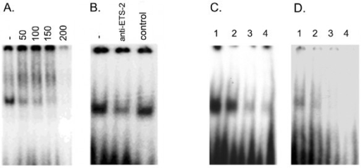 Electrophoretic mobility shift assays demonstrating that the putative ETS site and the repeated elements in the boPAG-2 promoter are capable of binding proteins in trophoblast nuclear extracts. A. Competition of ETS-2 binding activity (20 μg protein) with cold ETS-2 probe. Nuclear extracts were incubated with 1 μL of 50 pmol probe, in the absence or presence of the indicated molar excess of cold probe (indicated along the top). B. The ETS-2 complex composition was examined by depleting ETS-2 with an antibody specific to ETS-2. Preincubation of the ETS antibody with the nuclear extracts followed by binding reaction with the probe resulted in specific dissociation of the complex. Control: normal rabbit serum. C and D. Competition assays indicating specificity of association of, as yet unknown, TFs capable of binding to the unique bovine tandem repeats, BR1(C) and BR2 (D). Lane 1: labeled probe and nuclear extract; Lane 2: same as lane 1 except for addition of a 50-fold molar excess of unlabeled double-stranded oligonucleotide; Lane 3: 250-fold molar excess of unlabeled probe; Lane 4: 500-fold molar excess.