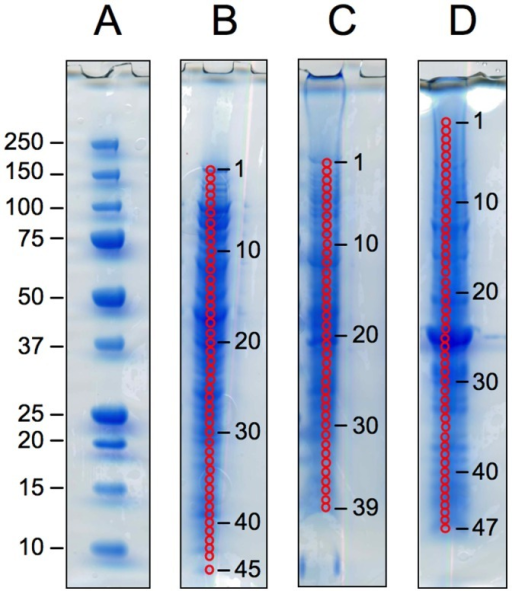 1D SDS-PAGE gels of mixed protein extracts (biofilm + planktonic) from one representative biological replicate.The four gels show (A) molecular weight markers, with molecular weights given in KDa, (B) the Extract 1 protein mixture, 40 µg loaded, (C) the Extract 2 protein mixture, 20 µg loaded, and (D) the Extract 3 protein mixture, 40 µg loaded. Bands were excised from the gel lanes as indicated by the numbered red circles.