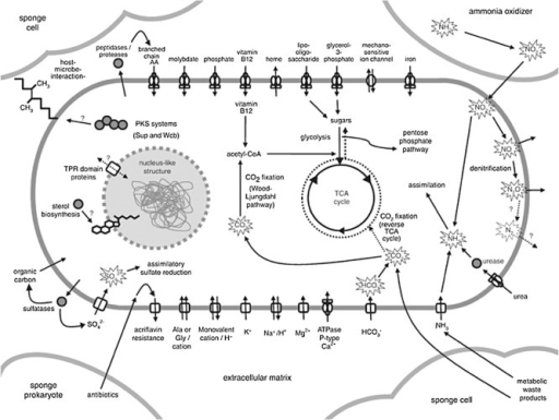 A schematic overview of poribacterial metabolism as deduced from SAG sequencing. Reprinted by permission from Macmillan Publishers Ltd: The ISME Journal (Siegl et al., 2011), copyright 2011.
