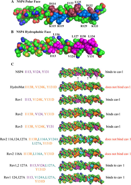 A and B Organization of the Polar and Hydrophobic faces of the NSP4 crystal structure of the enterotoxic AAH (A and B respectively). A shows the acidic amino acids, D114, E122, E125 and D132 depicted in a maroon color. The basic amino acids K115, R119, R129 and K133 are shown in blue. B shows the hydrophobic amino acids of the AAH of NSP4 I113, L116, V124, L127, I130, Y131 and L134 in purple. C PyMol representations of the hydrophobic face of NSP4-(residues 46-175) and mutants. Amino acids in purple (I113, V124 and Y131) are indicated by arrows represent the wild type NSP4. Eight mutant clones are viewed below the wild type NSP4. The mutations, I113R, V124D and Y131K are orange, and amino acids that are mutated to alanines are shown as blue. To the right of each represented clone, the results of the yeast two hybrid and the peptide binding assays are given.