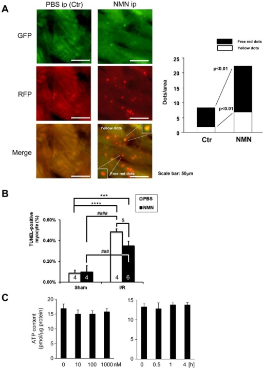 NMN stimulates autophagy in control hearts.A, Either NMN (500 mg/kg per injection) or vehicle (PBS) was administered (i.p. injection) to Tg-mRFP-GFP-LC3 mice. After 2 hours, the number of fluorescent LC3 dots was evaluated. Representative images of GFP puncta, mRFP puncta and their merged images are shown. The results of the quantitative analysis of RFP only dots and RFP/GFP double positive (yellow) dots/area are also shown. B, Either NMN (500 mg/kg per injection) or vehicle (PBS) was administered (i.p. injection) to mice 30 minutes before I/R, and then the mice were subjected to either 30 minutes ischemia followed by 24 hours of reperfusion or sham operation. The extent of cardiomyocyte apoptosis in the border zone was evaluated with TUNEL staining. The results of the quantitative analysis of TUNEL-positive cardiomyocytes are shown. C. Three days after isolation, cardiomyocytes were treated with the indicated dosage of NMN for 30 minutes (Left) and with 1000 nM NMN for the indicated time (Right). ATP contents were measured by ATP Bioluminescent Assay Kit (Sigma). n = 4 (Left) and 3(Right).