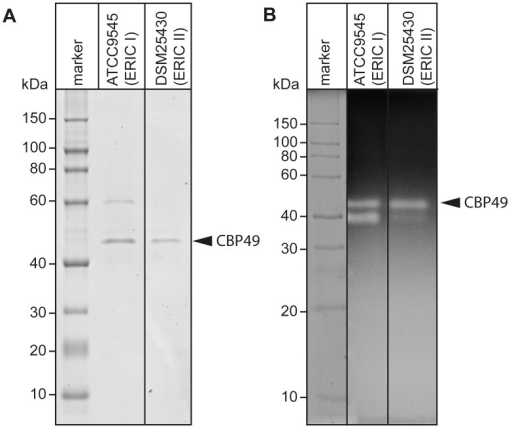 Identification of chitin-binding and –degrading proteins in the supernatants of cultured P. larvae.(A) Chitin-binding proteins isolated via chitin-beads from culture supernatants of ATCC9545 (P. larvae ERIC I) and DSM25430 (P. larvae ERIC II) were subjected to SDS-PAGE analysis. PlCBP49 is marked by an arrowhead. (B) Proteins isolated via chitin-beads from culture supernatants of ATCC9545 (P. larvae ERIC I) and DSM25430 (P. larvae ERIC II) were subjected to zymography using ethylene glycol chitin- (EGC-) impregnated gels to assess their chitinolytic activity. PlCBP49 is marked by an arrow head.