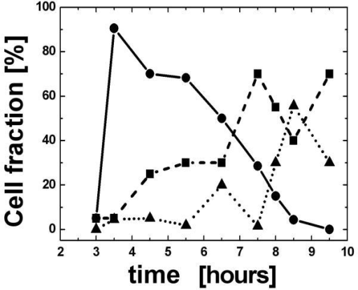 BrdU-positive cells were live sorted and synchronized in the S phase. They were harvested from a culture at time intervals of 3.5–9 hours. The cells were then fixed for 3D analysis. For each time point we have measured: 1. the fraction of nuclei with a telomeric disk; 2. the fraction of cells in mitosis; and 3. the fraction of cells with interphase nuclei but without a telomeric disk. Ninety percent of the cells formed a telomeric disk 3.5 hours after BrdU incorporation and were therefore interpreted as cells in the late G2 phase (black line and circles). Cells entering mitosis (dashed line and squares) peaked at 7.5 hours (65%) and cells in G1 (dotted line and triangles) peaked after 8.5 hours (57%). The increase in the number of metaphases at 9.5 hours cannot be explained and probably lies within the limits of experimental errors.