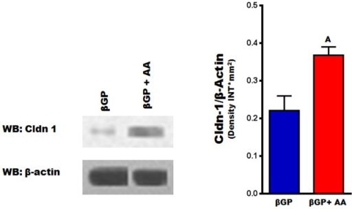Cldn-1 protein levels during early stages of ascorbic acid induced osteoblast differentiation.Primary osteoblasts isolated from calvarias were treated with βGP ± AA for 6 days, before Cldn-1 expression was evaluated by western blotting. Values (means ± SEM; n = 4). A = <0.05 vs. untreated cells (βGP alone).