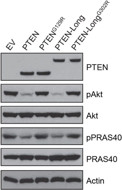 Overexpression of PTEN-Long suppressed PI3K-Akt signaling in 786-0 cells.Western blot analysis of lysates from 786-0 cells showing overexpression of PTEN or PTEN-Long, but not PTENG129R or PTEN-LongG302R, suppressed Akt phosphorylation (Ser473) and its downstream event.