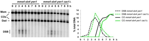 Recombination in CAF-1 mutants does not rely more of the class II crossover pathway.DSB formation and CO frequency at HIS4LEU2 in mms4 slx4 yen1 triple mutant (VBD1444) and in mms4 slx4 yen1 cac1Δ (VBD1443) monitored by Southern blot. The graph shows DSB and CO quantification from the same time-courses.