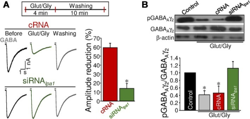 Involvement of LPA1 in activity-dependent STD at inhibitory signaling.(A) Same as in Fig 6E, but GABA pulses were performed before and after 4 min addition to the bath of Glut (30 μM) and Gly (1 μM) and after successive washing (cRNA: n = 4 SMNs; siRNAlpa1: n = 5 SMNs). *p < 0.05, one-way RM-ANOVA relative to the control (before) condition. (B) Same as in Fig 6G but performed from SMNs cultures receiving indicated pretreatments and incubated for 4 min with aCSF alone or with Glut/Gly to stimulate NMDARs. *p < 0.05, one-way ANOVA on Ranks relative to control (untreated) condition. Experiments were carried out in the presence of TTX, d-tubocurarine, strychnine, and NBQX. Plots data can be found in S1 Data.