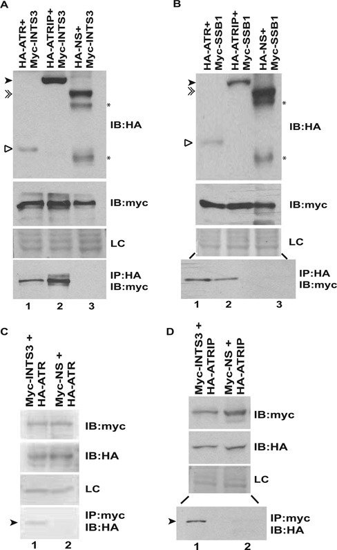 ATR-ATRIP complex associates with hSSB1/2-INTS3. (A and B) 293T cells were co-transfected with plasmids expressing HA-ATR (1–400 aa), HA-ATRIP or a non-specific protein (HA-NS) in combination with Myc-INTS3 or Myc-hSSB1 as indicated followed by immunoprecipitation (IP) with HA antibody. The lysates were normalized for the expression of HA-tagged and Myc-tagged proteins, shown by immunoblotting (IB) in the first and second panels, respectively. The bottom panel displays the co-immunoprecipitated Myc-tagged protein. HA-ATR (hollow arrowhead), HA-ATRIP (black arrowhead) and HA-NS (double arrowhead) have been marked while (*) displays multiple expression products of the non-specific protein (HA-NS). The expression of an endogenous non-specific protein (LC) in different transfected samples as visualized by Ponceau S staining has been shown. Note that lanes 2 and 3 of the bottom panel in part B are separated by an intervening lane to prevent any spill over artifacts. (C and D) 293T cells were co-transfected with plasmids expressing HA-ATR (1–400 aa) or HA-ATRIP in combination with Myc-INTS3 or a non-specific protein (Myc-NS) as indicated followed by immunoprecipitation with Myc antibody. The expression of Myc-tagged and HA-tagged proteins have been shown in the first and second panels respectively while the bottom panel displays the co-immunoprecipitated HA-tagged protein (black arrowhead). Myc-INTS3 and Myc-NS have similar mobility. Note that lanes 1 and 2 of the bottom panel in part D are separated by an intervening lane to prevent any spill over artifacts and other details are same as parts A and B.
